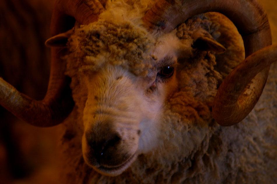 Shetland Ram at the Shetland Flock Book Fine Fleece Prize Giving with Vi Sprung