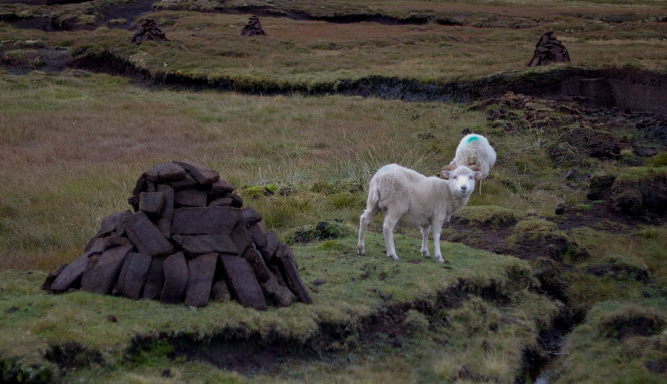 Shetland sheep hanging out near peat stacks