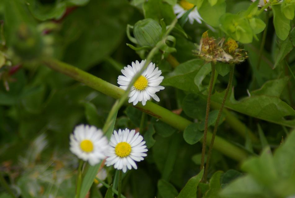 08_daisy