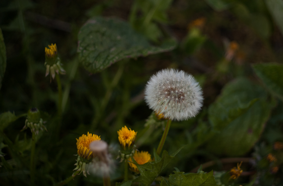 dandelion-1