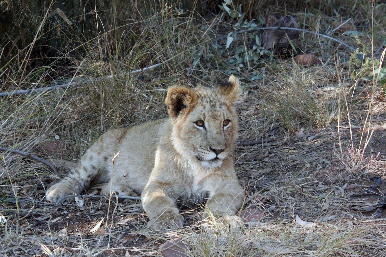 In Gras liegender junger Löwe