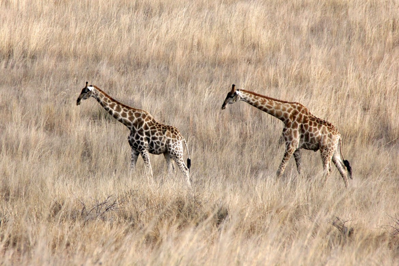 Two giraffes are walking through high brown gras