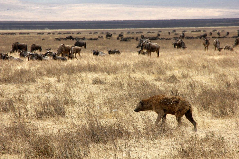 Hyäne läuft vor Gnus
