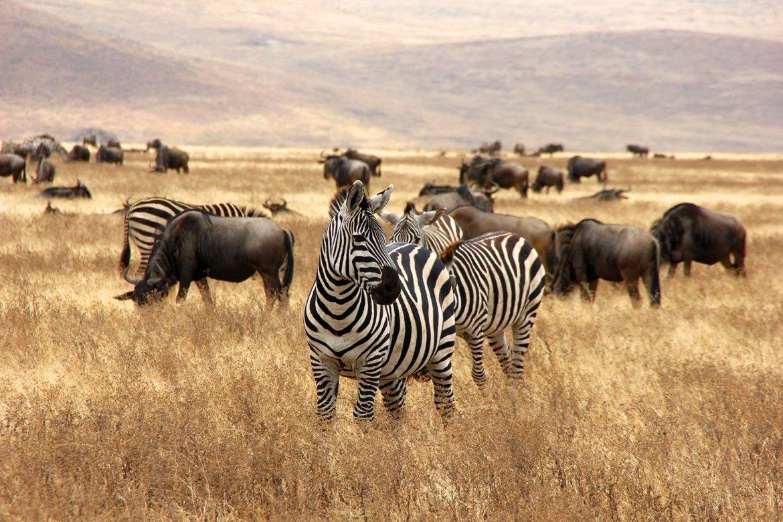 Zebras und Gnus in braunem Gras