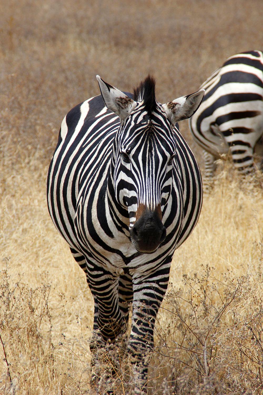 Zebra frontal