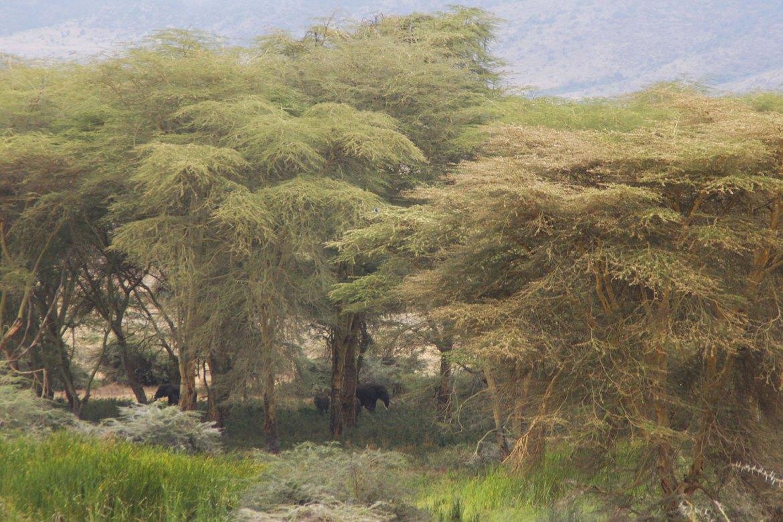 Elefanten im Wald im Ngorongoro Krater
