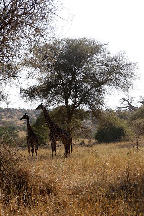Zwei Giraffen in der Landschaft des Tarangire Nationalparks, Tansania
