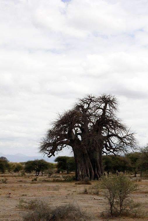 Baobab Baum in Savanne im Tarangire Nationalpark, Tansania