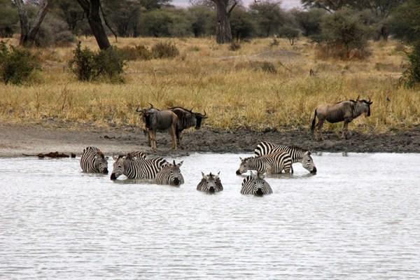 Zebras baden im See und Gnus stehen im Hintergrund