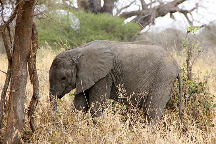 Elefantenbaby in hohem, braunen Gras im Tarangire Nationalpark, Tansania