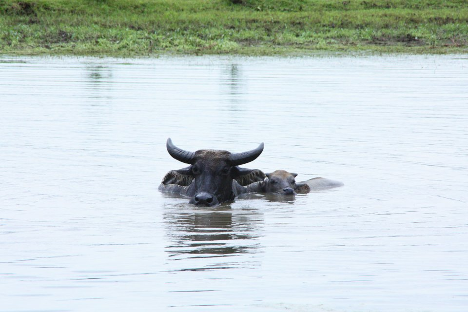 Buffalos in a lake
