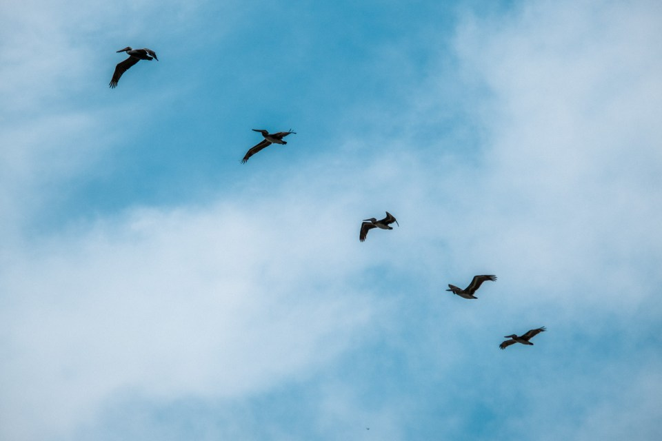 Pelicans on the sky