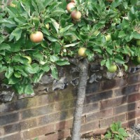 Step-Over Fruit Trees