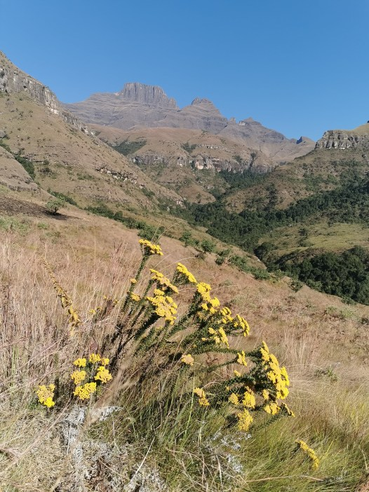 The extensive flora of the Drake3nsberg. Drakensberg Experiences.