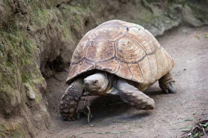 tortoise at hyrax hill museum
