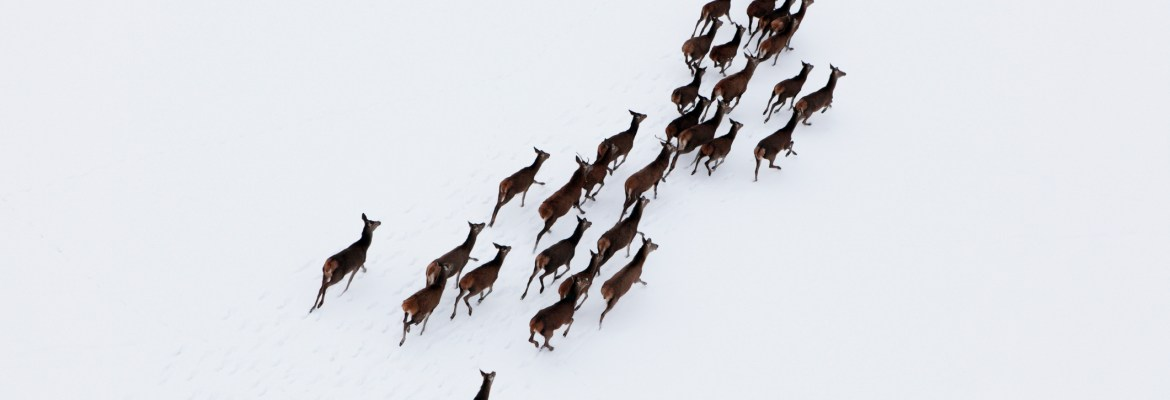 population estimates drone deer aerial