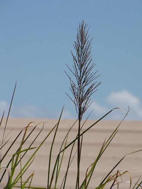 Vetiver grass or Chrysopogon zizanioides is sourced from India or Indonesia