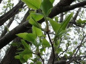 Close-up of new leaves on the Bradford pear. Photo by Victoria Laughlin, 2013.