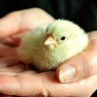 Chick - Public Domain
