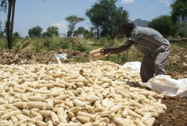 262,000MT maize import has arrived Nigeria, say poultry farmers
