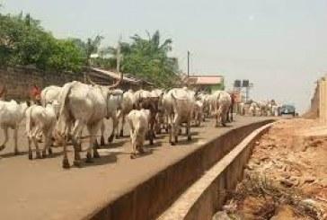 Amotekun Arrests Nine Errant Herders and 100 Cows in Ondo State