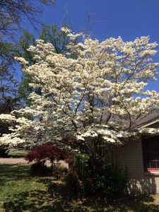 Five Things I Love About Tulsa: Dogwood Tree