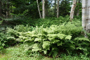 lush fern in forest, Canada Travel Itinerary, www.theeducationaltourist.com