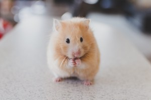 Hamster, Survive Long Airport Layovers with KIDS, www.theeducationaltourist.com
