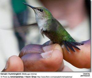 VervainHummingbird2