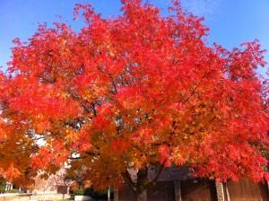 Tree red orange fall foliage, Texas Fall Foliage, www.theeducationaltourist.com