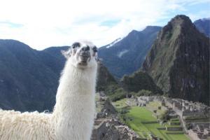 Trip planning llama at Machu Picchu