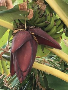 Purple flower from a banana tree, Flowers of Hawaii, www.theeducationaltourist.com
