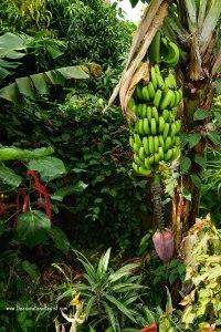 Bananas on tree, Hawaii, the BIG island Hawaii, the BIG island