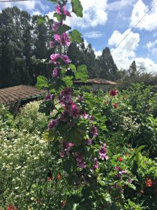 purple flower farm Santa Elena