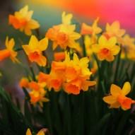 Sunset Daffodils