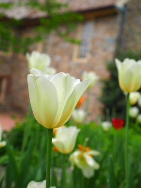 Tulips - The Stone House
