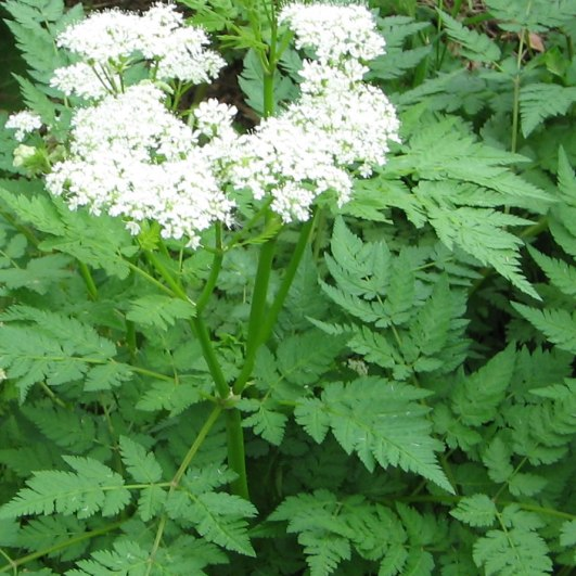 Forage for one of Nature's lost gems, Sweet Cicely ! From Natural Sweetner safe for diabetics to tasty green jam packed with medicinal qualities, this is one herb you are going to want to learn about. Pin Now and Read the article later. https://theendsoftheearthblog.com/sweet-cicely/