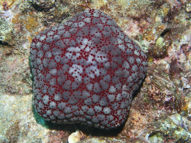 Pin Cushion Sea Star