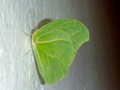 Possibly a Brimstone Butterfly