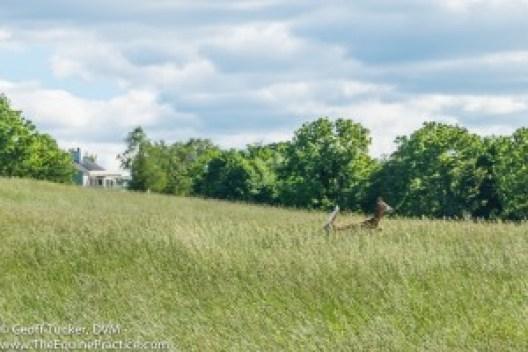 A deer in tall grass