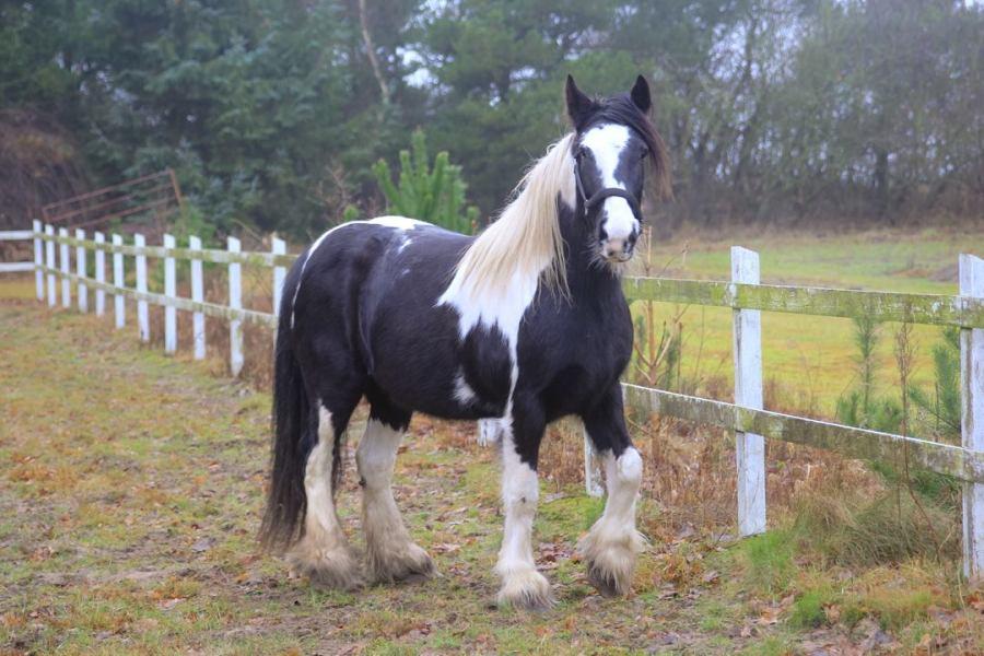 Shanni The Gypsy Horse