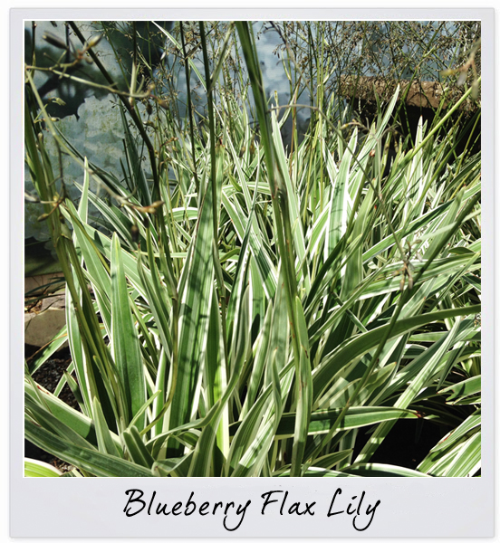 gsco flax lily