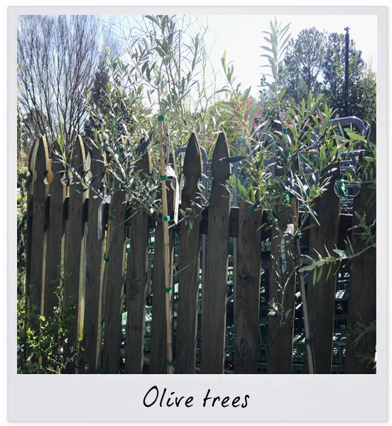 gsco olive tree