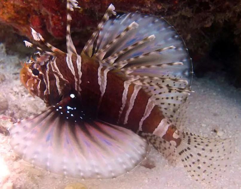 Discover Scuba Diving in Maldives Lion Fish