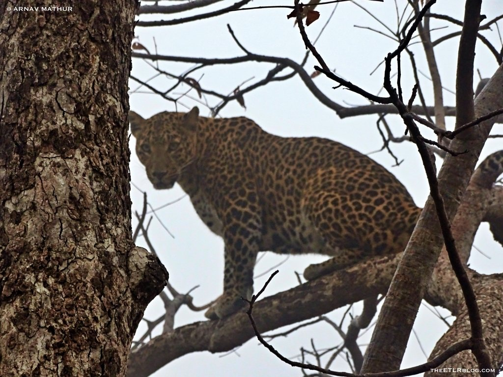 The leopard stare Panna National Park India
