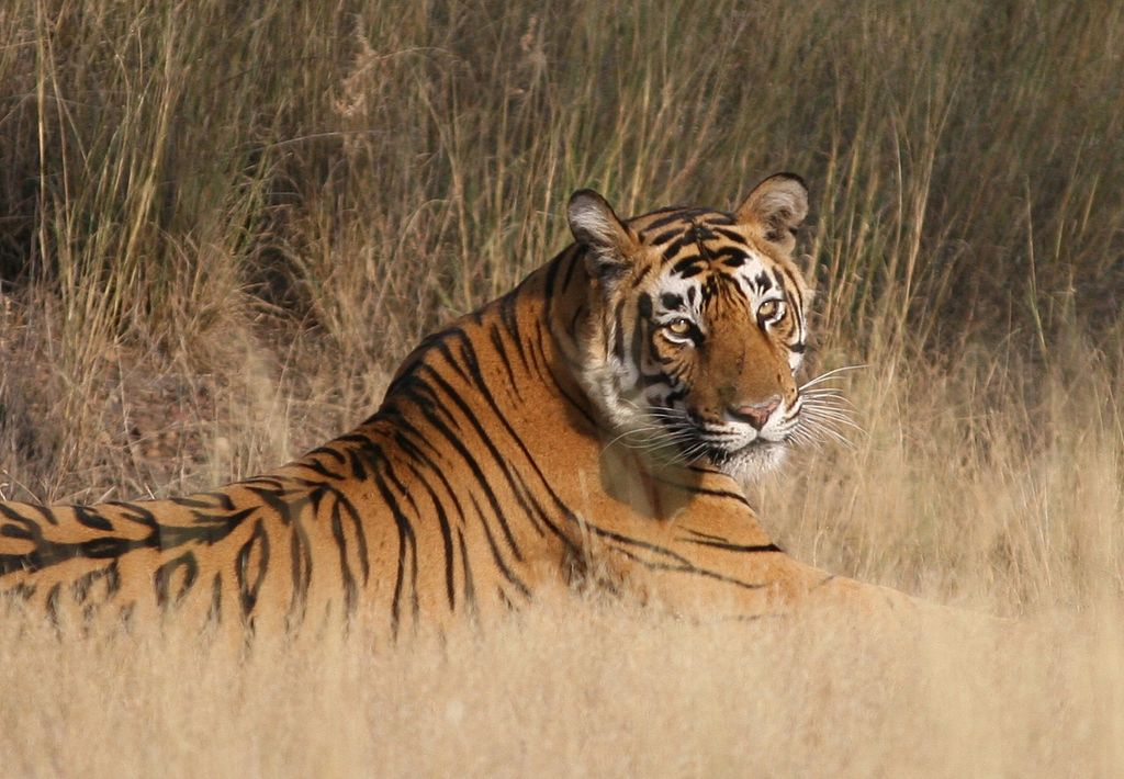 Tiger at Ranthambore National Park - One of the Best National Parks in India that you need to visit | theETLRblog