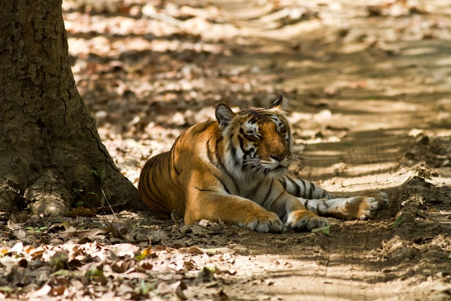 Tigress at Corbett National Park in India