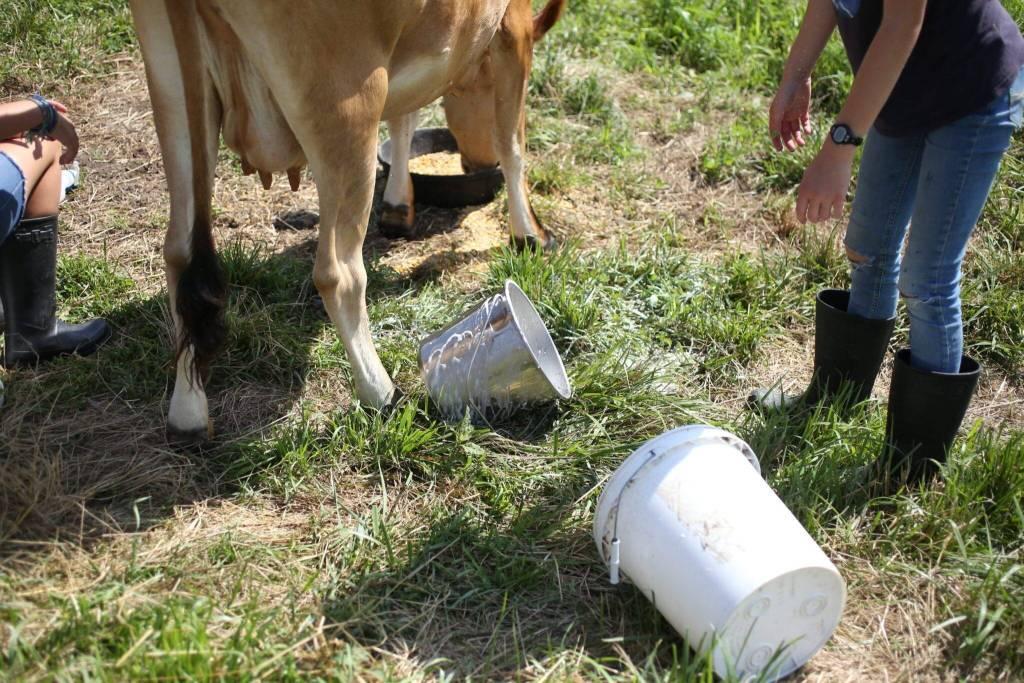 how to milk a cow spilt milk