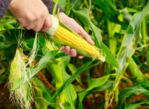 Find the ebst corn on the cob by following these tips