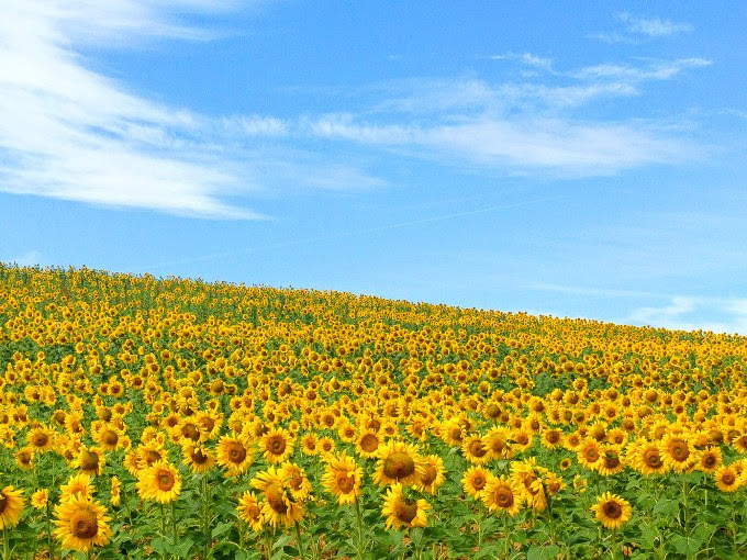Sunflowers on the meseta -- Camino Frances| theeverykitchen.com